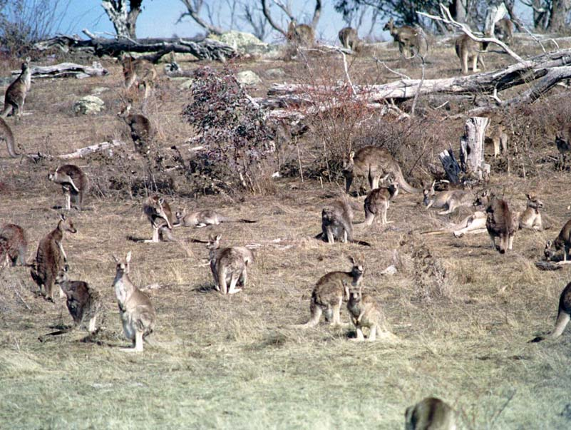 Eastern grey kangaroos (Source: TAMS)
